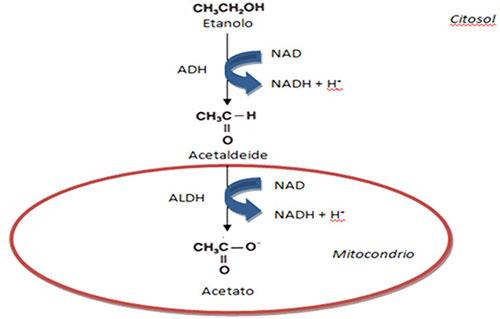 riduzione del rapporto tra nicotinammide adenina di-nucleotide ossidato e ridotto