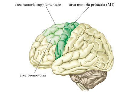 Le aree della corteccia frontale agranulare sono indicate con la lettera F.