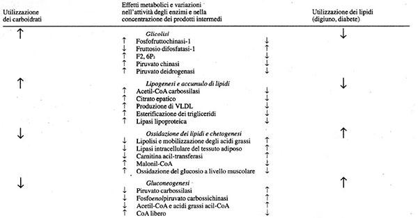 Relazioni tra il metabolismo dei lipidi e quello dei glucidi