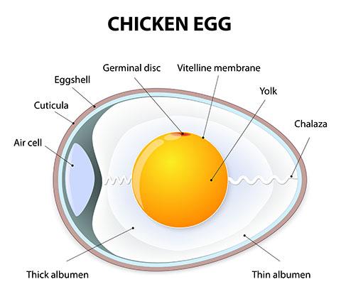 composizione dell'uovo: guscio, albume, tuorlo