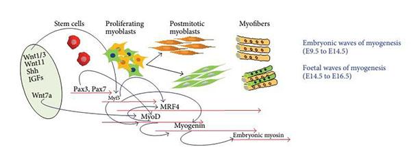 Rappresentazione dello sviluppo del muscolo nell'embrione