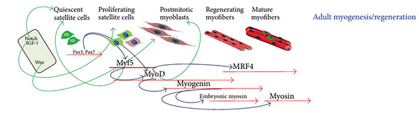 Rigenerazione ad opera delle cellule satelliti nell'adulto