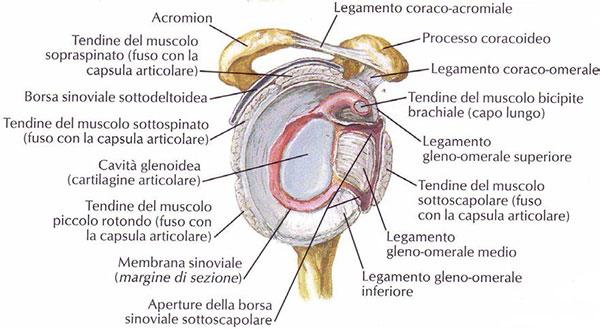 anatomia omero