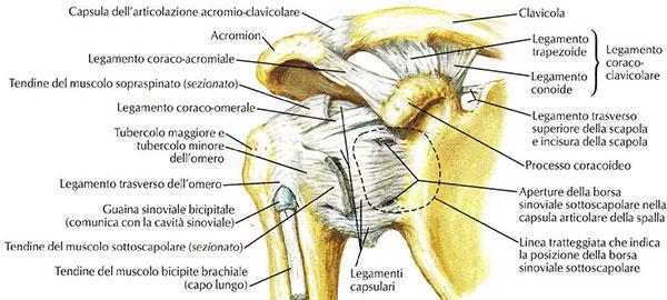 anatomia della scapola, figura 1