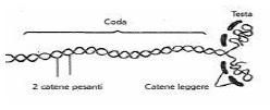 filamento di miosina