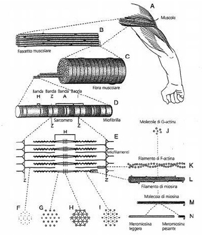 muscolo scheletrico