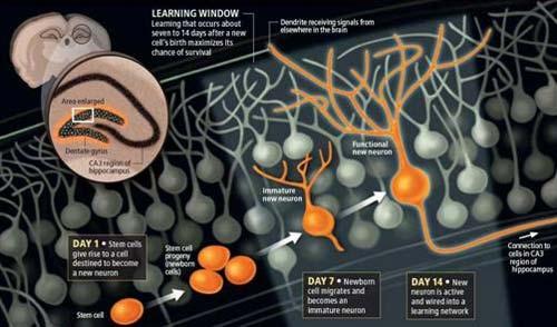 i primi 14 giorni di vita dei nuovi neuroni