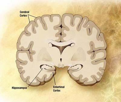 atlante di neuroanatomia Netter