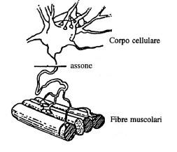 componenti nervose