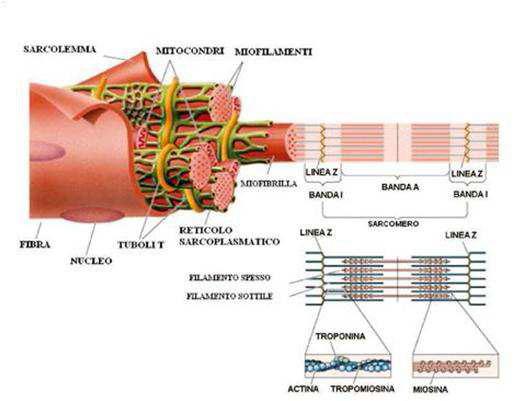 Struttura sarcomero