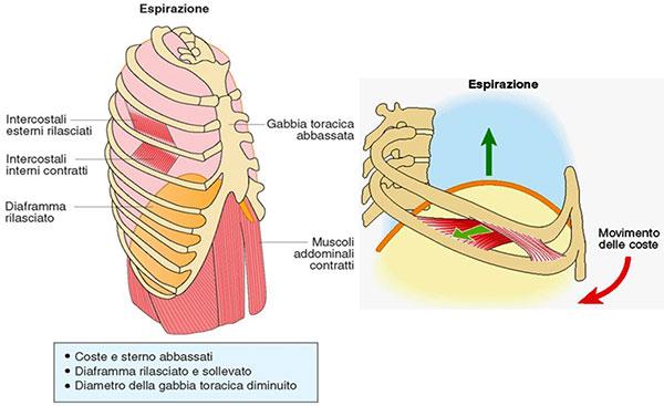 Rappresentazione dei cambiamenti anatomici durante l'espirazione