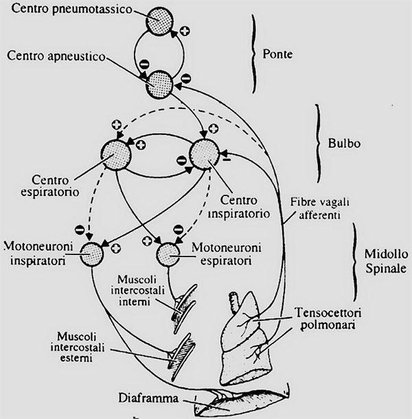 Schematizzazione dei circuiti a feedback per il controllo della respirazione