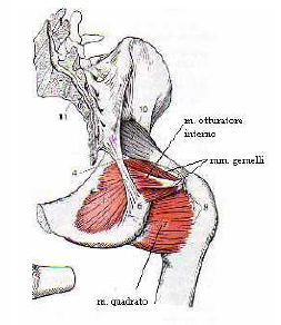 Muscoli Arto Inferiore